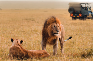lions in the wild